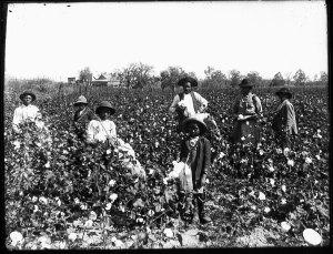 champs de coton